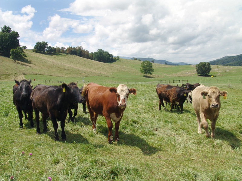 http://vegetarian.procon.org/files/1-vegetarian-images/cattle_at_pasture_usda_large.jpg