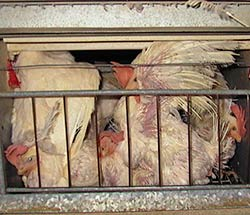 Laying hens in a battery cage (courtesy of CAA).