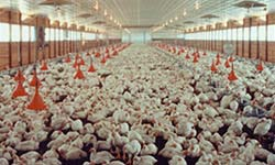 Inside a broiler house, where chickens are raised for meat.