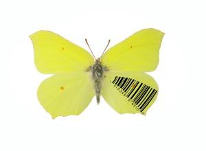 Gonepteryx barcodificata