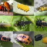 Harmonia_axyridis_lifecycle