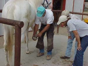Hoof care & Shoeing