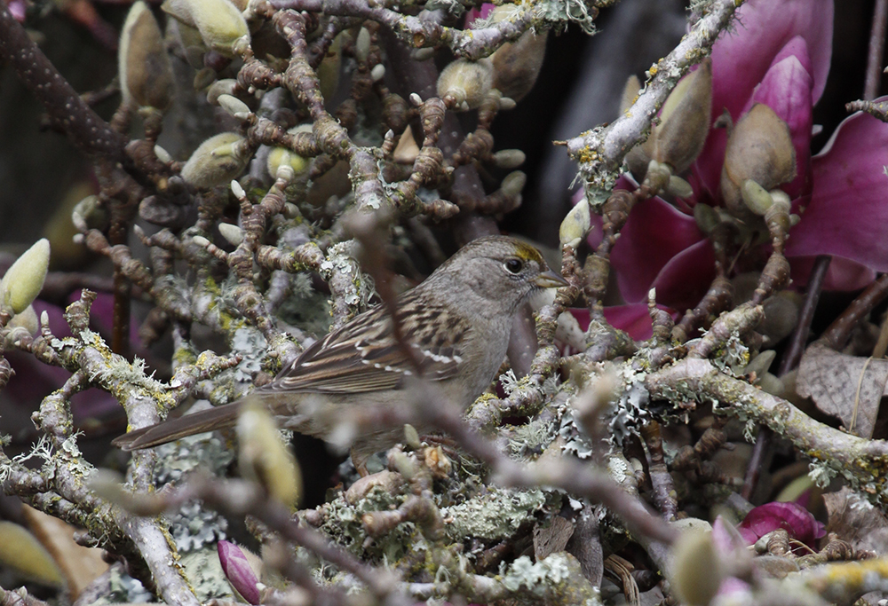 Golden Crowned Sparrow in Magnolia Pruning Pile