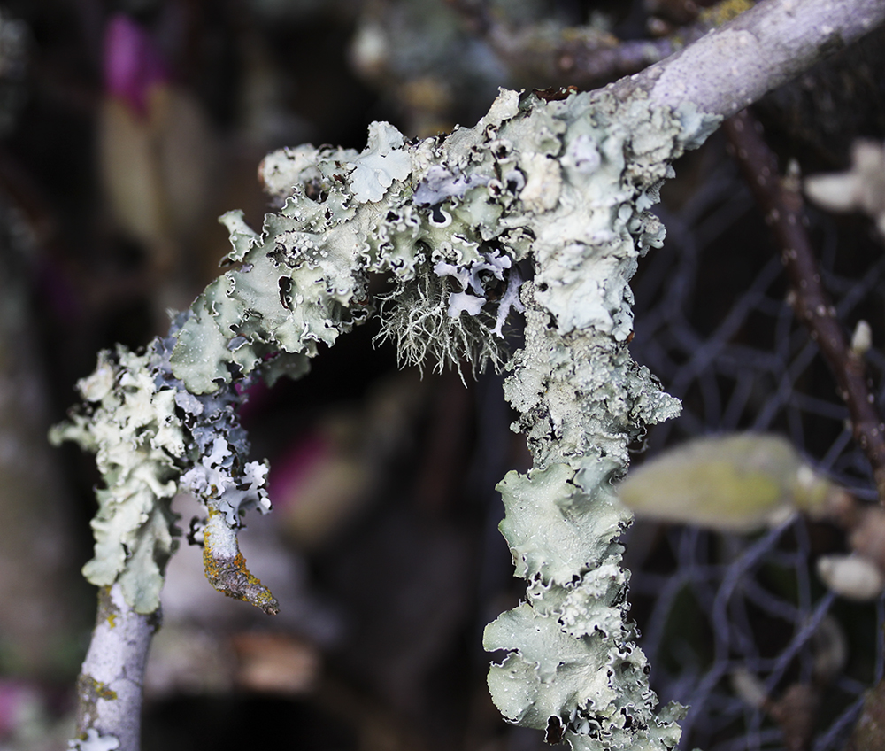 The pale gray foliose one is a species of Parmotrema.