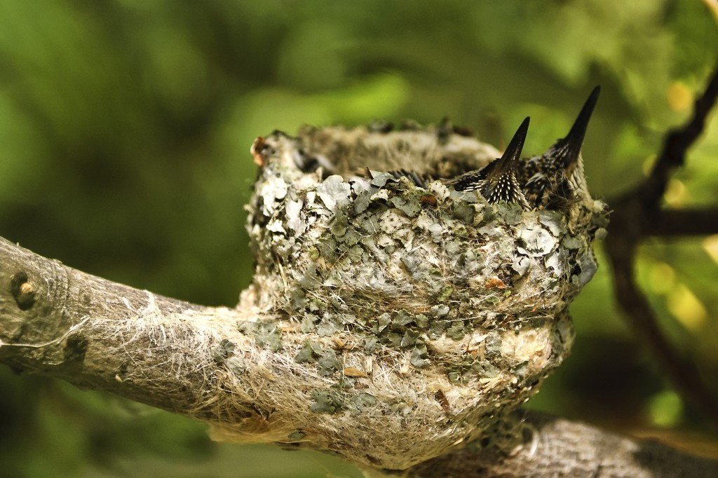 Two Hummingbirds in Lichen-Lined Nest.