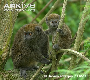 Photo of Alaotran gentle lemur with young