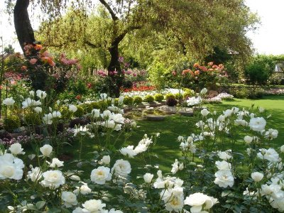 Pakistan Rose garden Shahzad picture