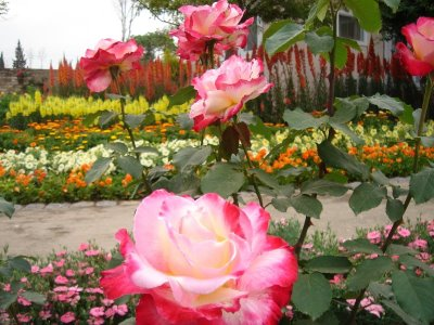 Pakistan Rose garden Shahzad picture 3