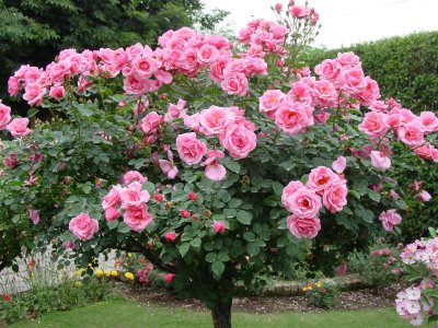 Pakistan Rose garden Shahzad picture 2