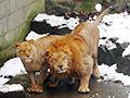 游客雪球砸狮子取乐