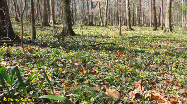 The trout lilies, also known as dog-toothed violets, were magical.