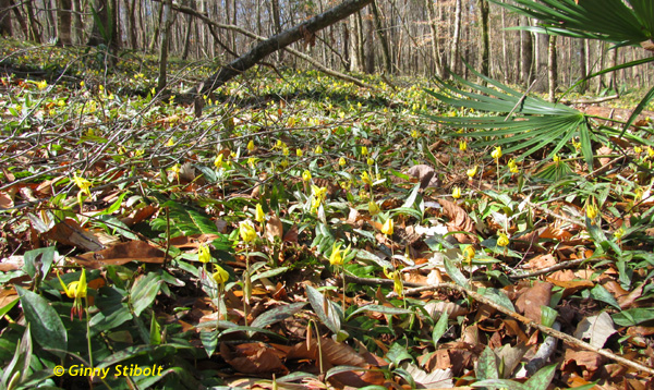 Acres of trout lilies on a gentle south-facing slope.