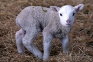 A spring lamb in Somerset, England