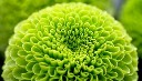 Close-up of green chrysanthemum (© Sergey Skleznev/Alamy)