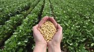 human hand holding soybeans with field in background