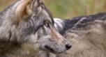 Wolf, © Larry Travis