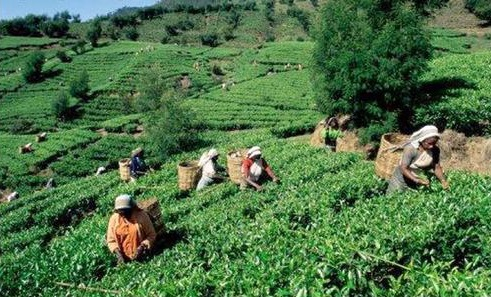 Tea gardens in China