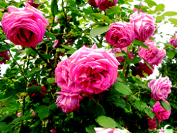 Breeding and picking – of rose