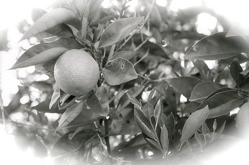 Origin and history – of lemon tea