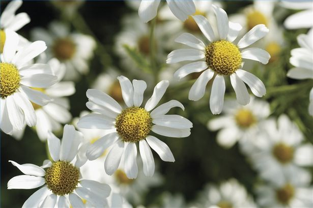 Breeding and picking – of chamomile