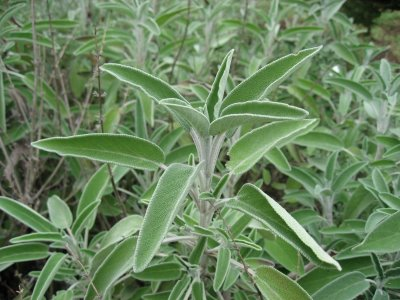 Breeding and picking of sage tea
