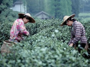 Breeding and picking of black tea