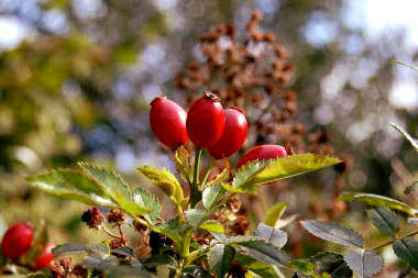 Processing and classification – of pomegranate tea