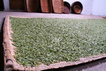 Processing and classification of white tea