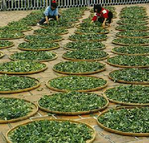 Processing and classification of green tea