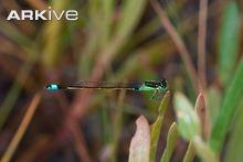 Senegal bluetail (Ischnura senegalensis)