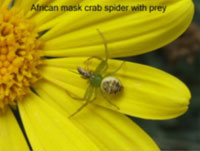 African mask crab spider with prey