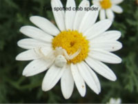 Spotted crab spider