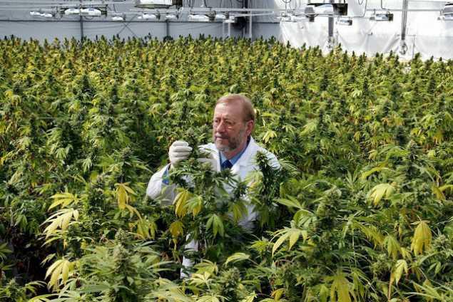 medical_marijuana_grow