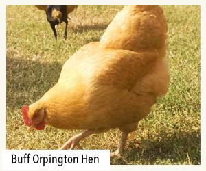 buff orpington hen
