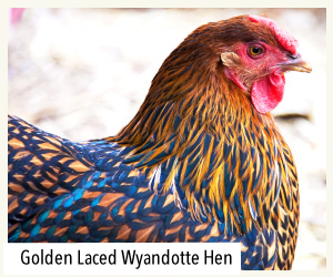 gold laced wyandotte hen