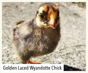 gold laced wyandotte chick