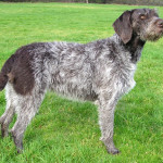 german-wirehaired-pointer