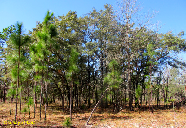 This natural grove of oaks has resisted the fire maintenance regimen.