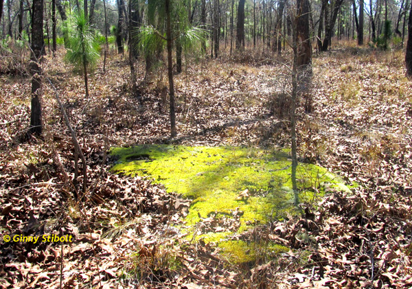 What caused this beautiful patch of moss in this dry sandhill?