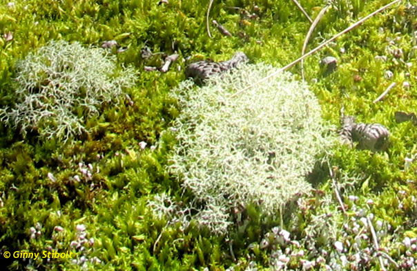 In addition to mosses, there are lichens and club mosses.