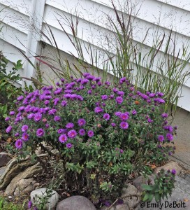 New England Aster 'Purple Dome'