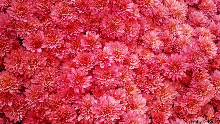 mums for web