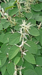 While most of us will all agree that Japanese knotweed (pictured here) is highly invasive, not everyone seems willing to accept that some species such as Norway maple and barberry are as well.