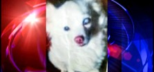 Chihuahua named Guero dies after traffic stop in Houston (KTRK)