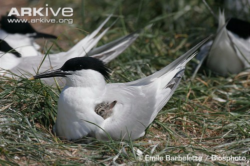 Sandwich tern with chick