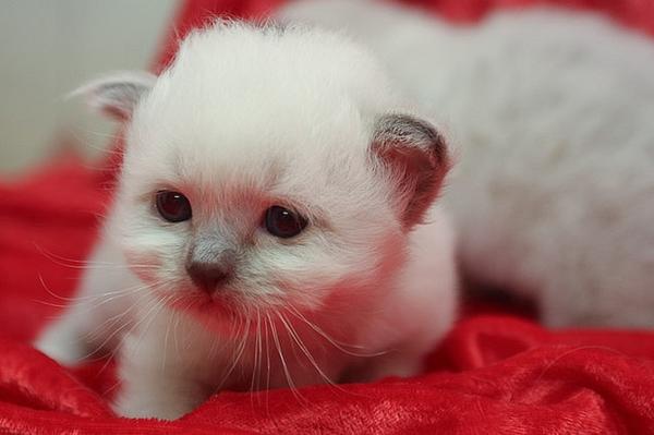 бирма - порода кошек фото