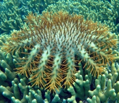 crown of thorns sea star preying upon coral polyps