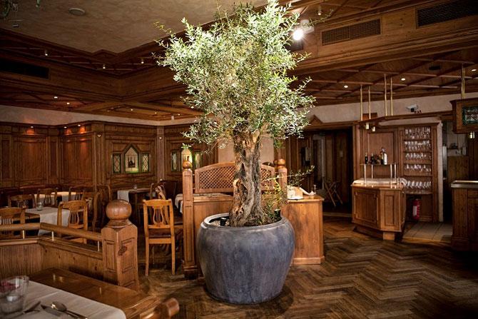 комнатные деревья 06