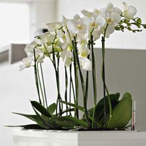 орхидея 94