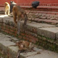 Una manada de monos deambula por el Parlamento Indio